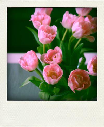 Fk-tulppaanit-pink